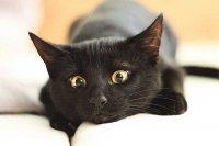 Чорний кіт